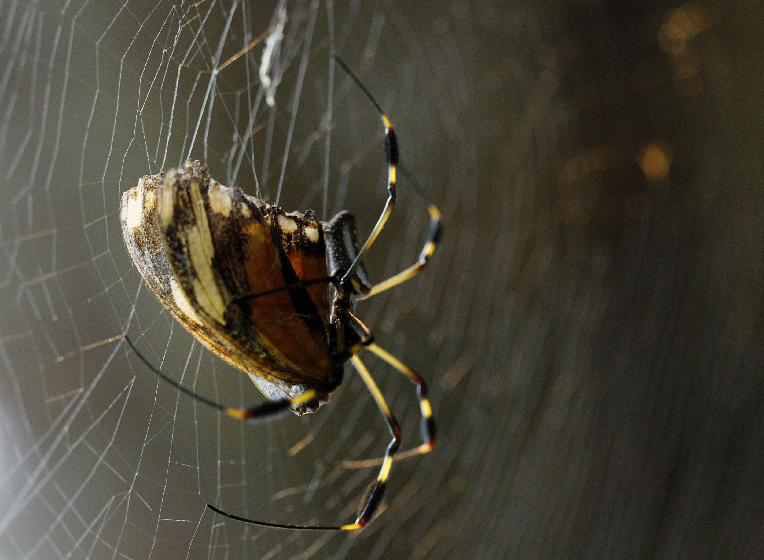 Orb-Weaving-Spider