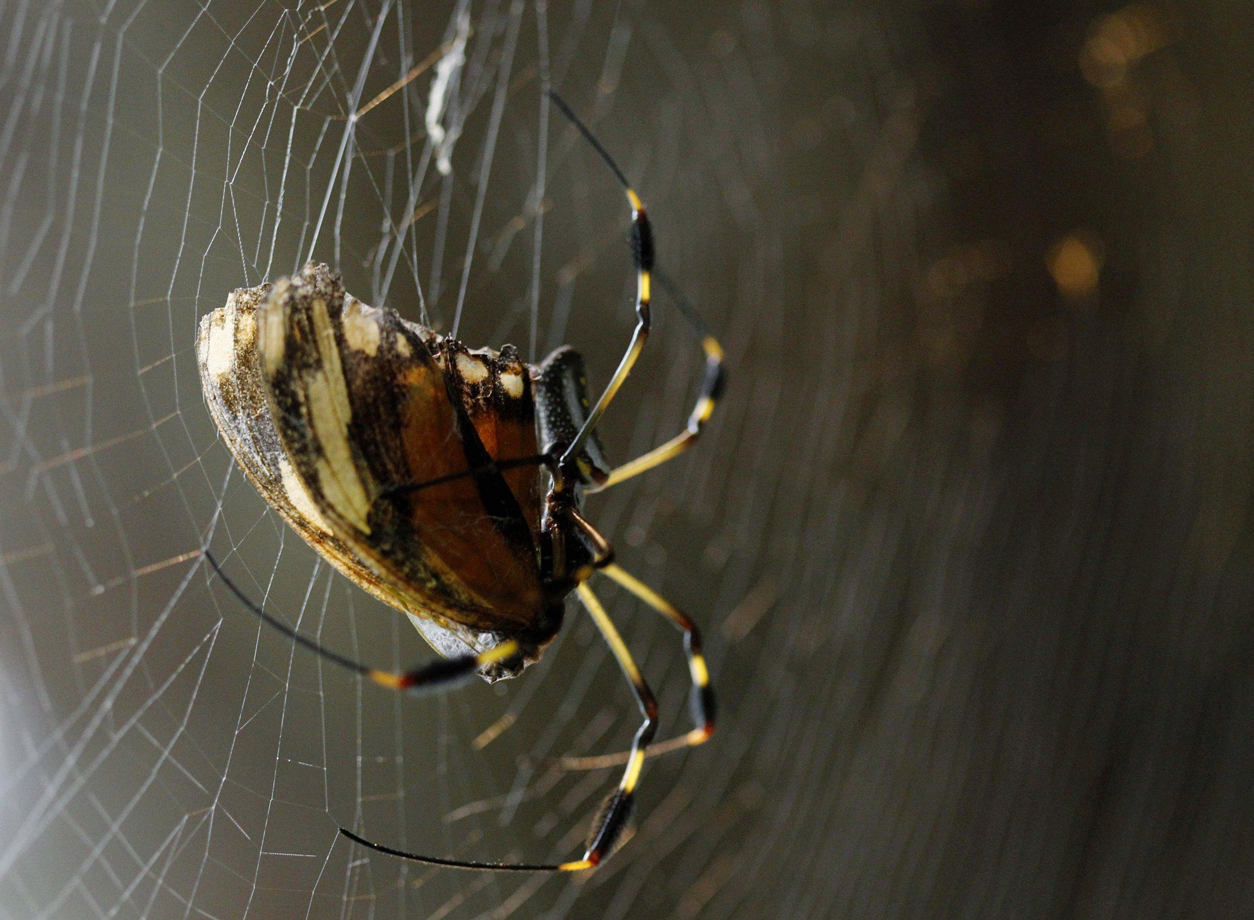 Orb-Weaving-Spider