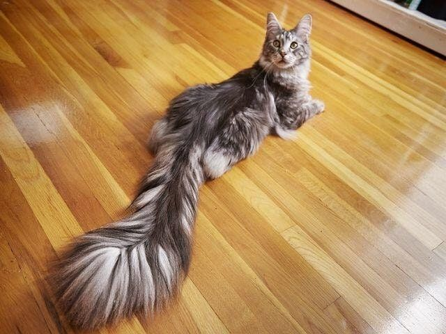 Longest_tail_on_cat