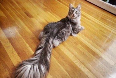 Longest_tail_on_cat