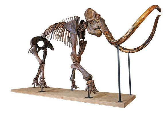 Ancient Skeleton Of Largest Woolly Mammoth In Private