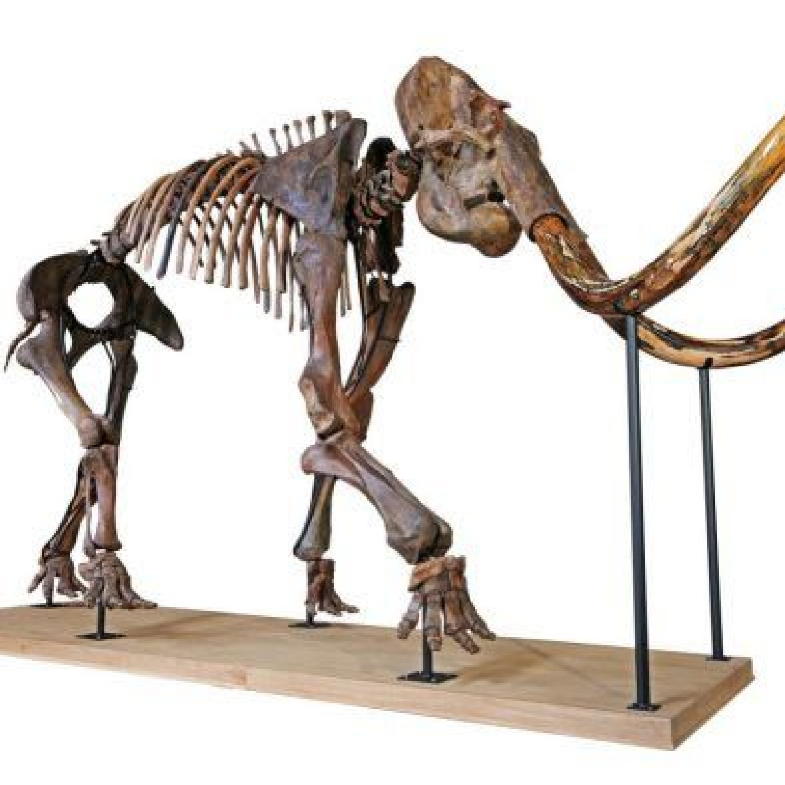 Ancient Skeleton Of Largest Woolly Mammoth In Private Hands On Sale In  France