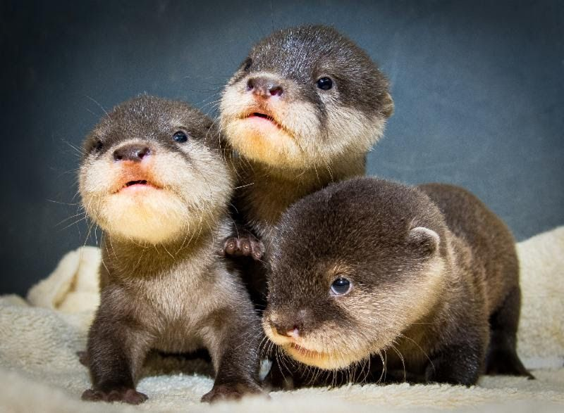 cute pictures of baby otters at cleveland zoo go viral