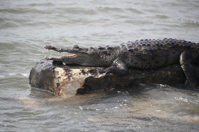 1121_Florida_crocodile