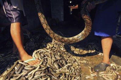 11_22_Snake_Indonesia