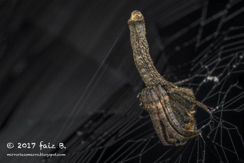 phallicpolytus