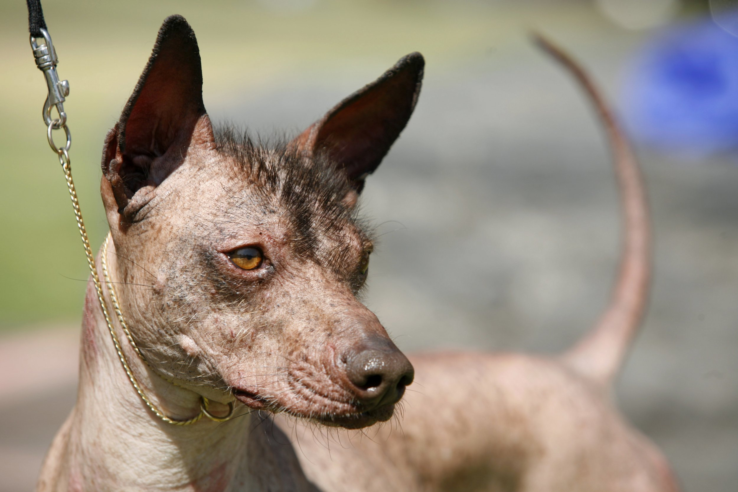 That Mexican Hairless Dog From Coco Is A Cool Breed But
