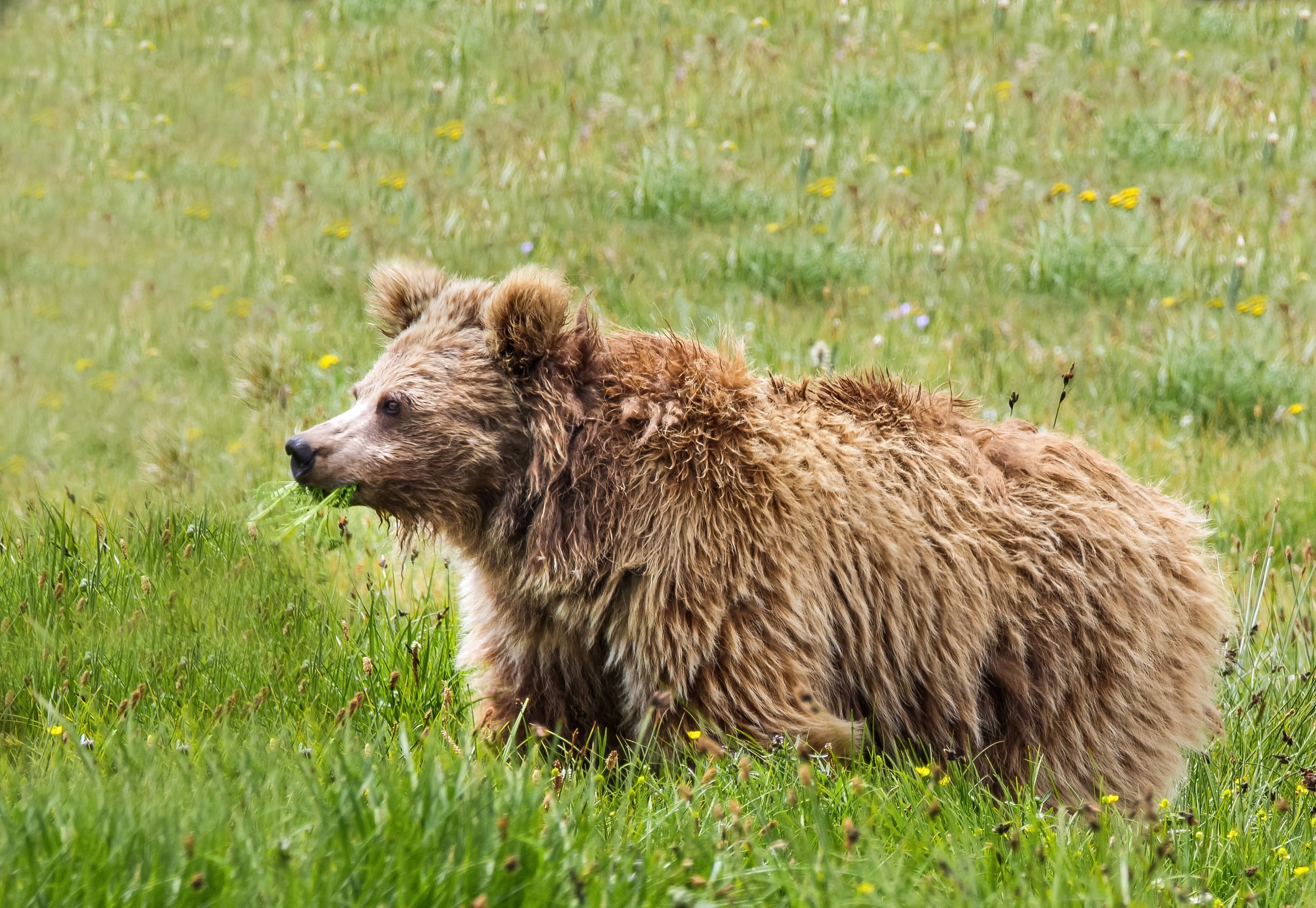 11_28_himalayan_brown_bear