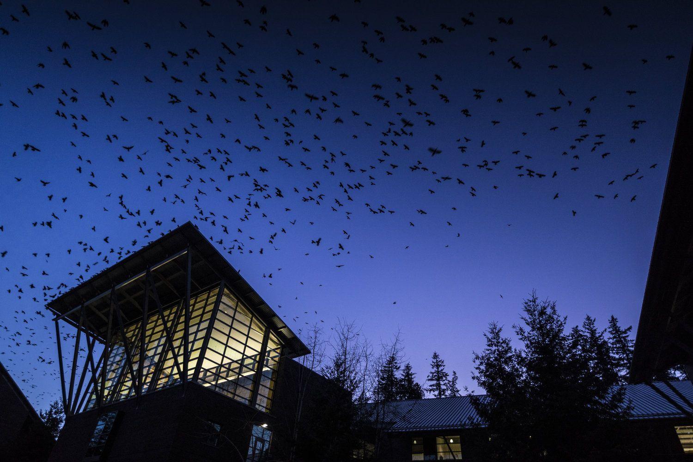 flock_of_crows