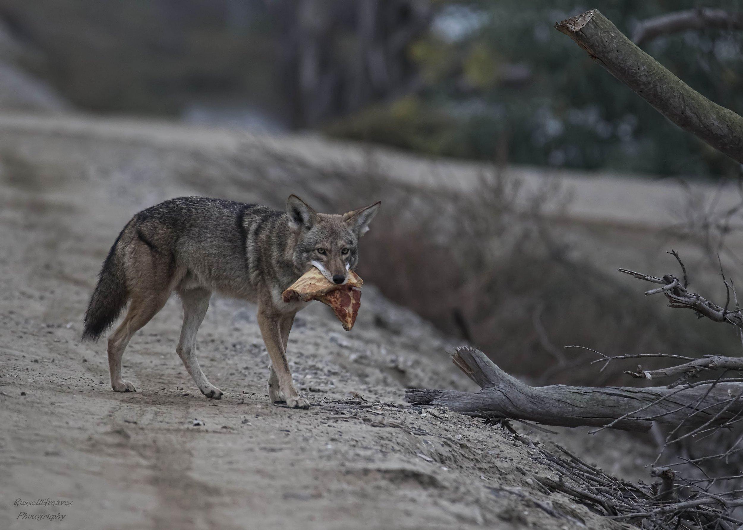 Pizza Coyote