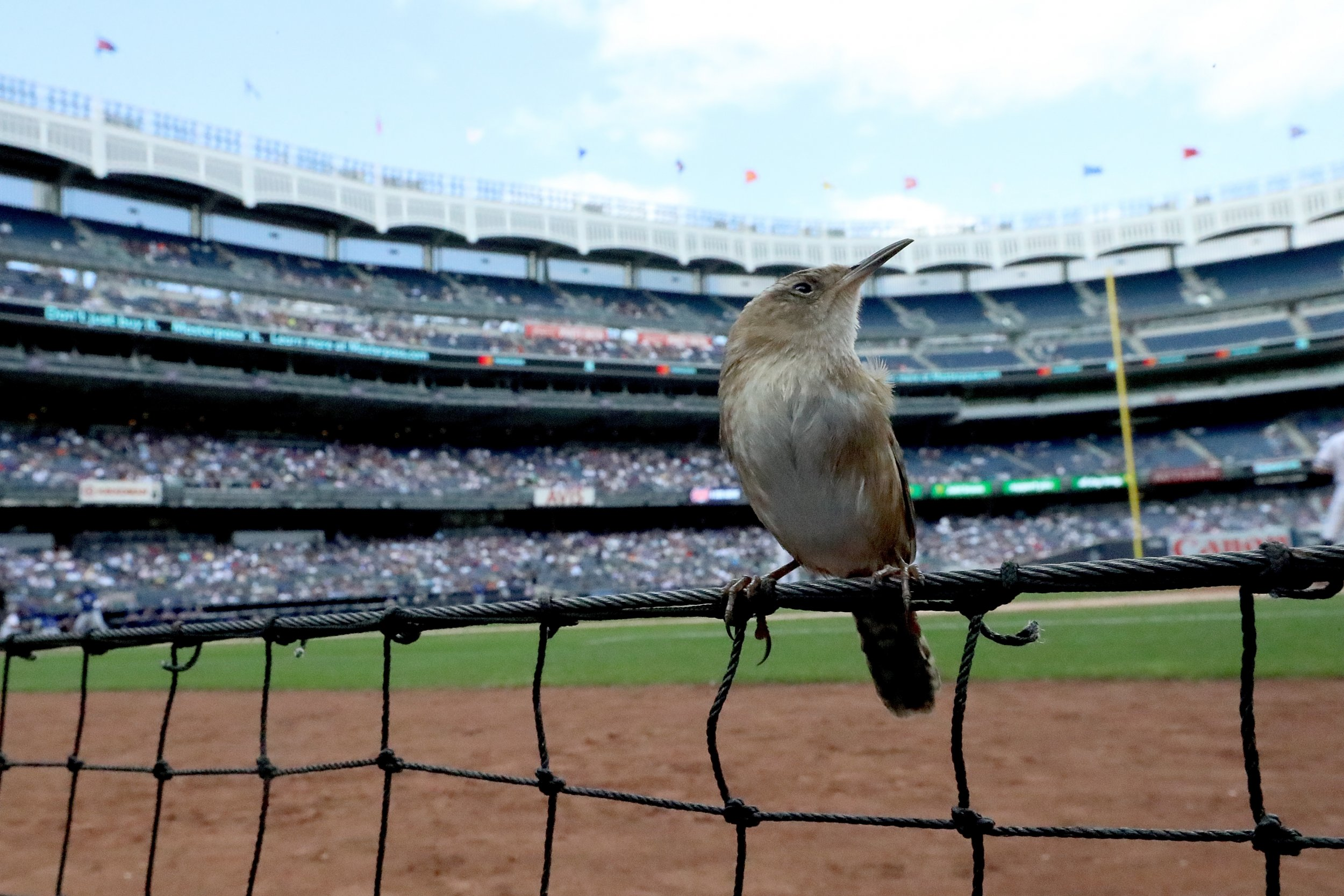 453ef92712e A bird sits among the first base photo well at Yankee Stadium while the New  York