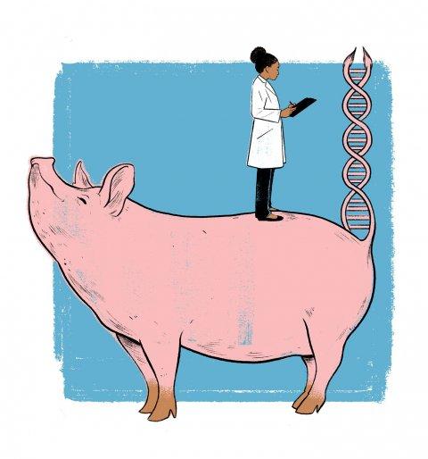 HOR_Medical_Pig