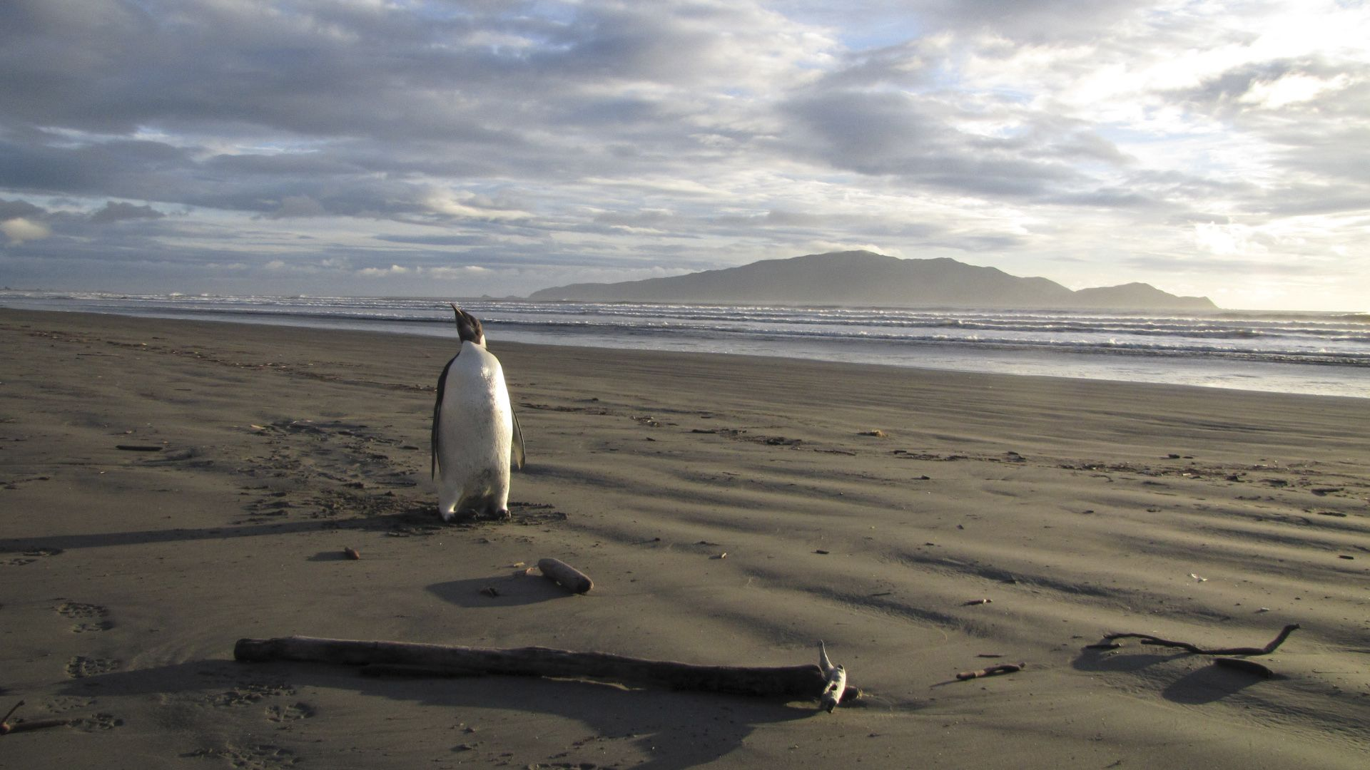 Ancient Giant Penguin Taller Than You Roamed New Zealand