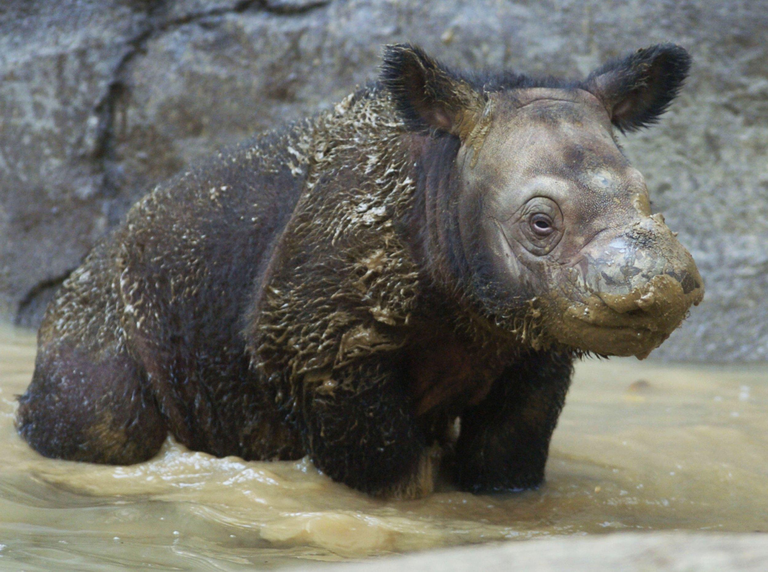 12_15_Sumatran Rhino