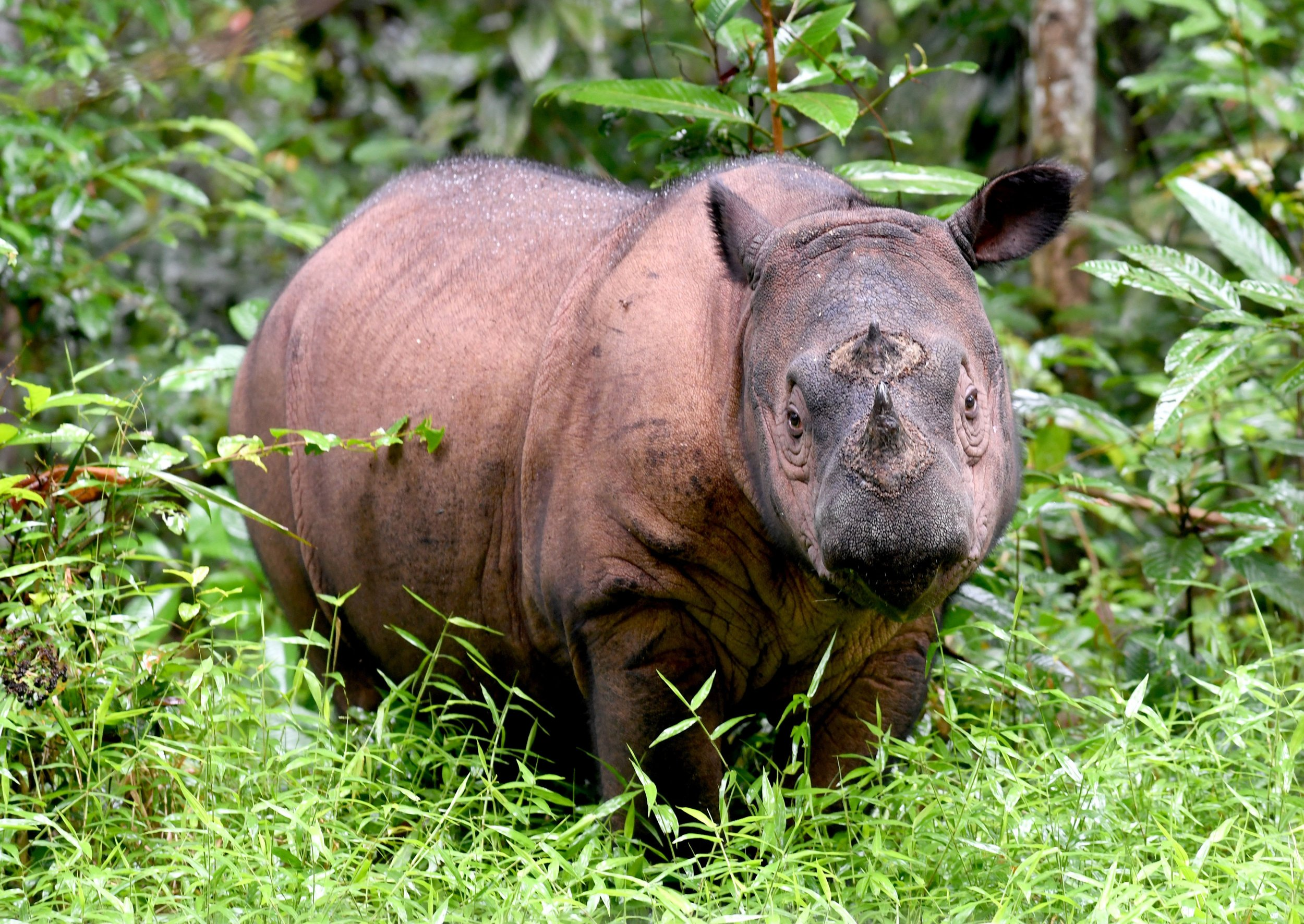 The Sumatran Rhino Is Near Extinction And A New Map Of