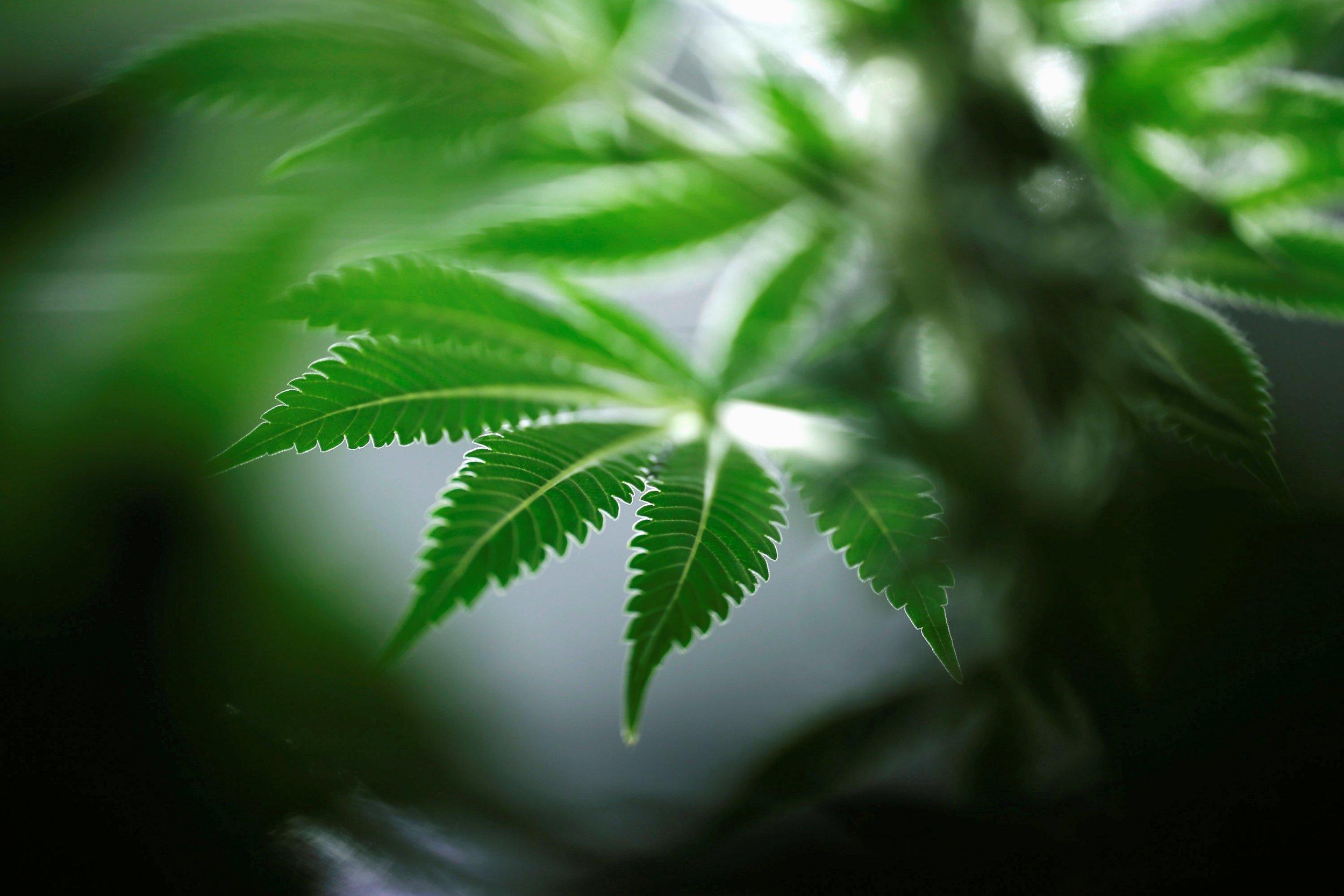 12_19_MarijuanaPlant
