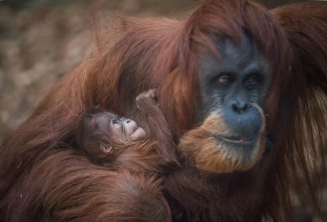 orangutanbaby