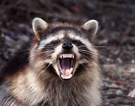 image 131243372 raccoon drags baby out of bed and attacks her in philadelphia home