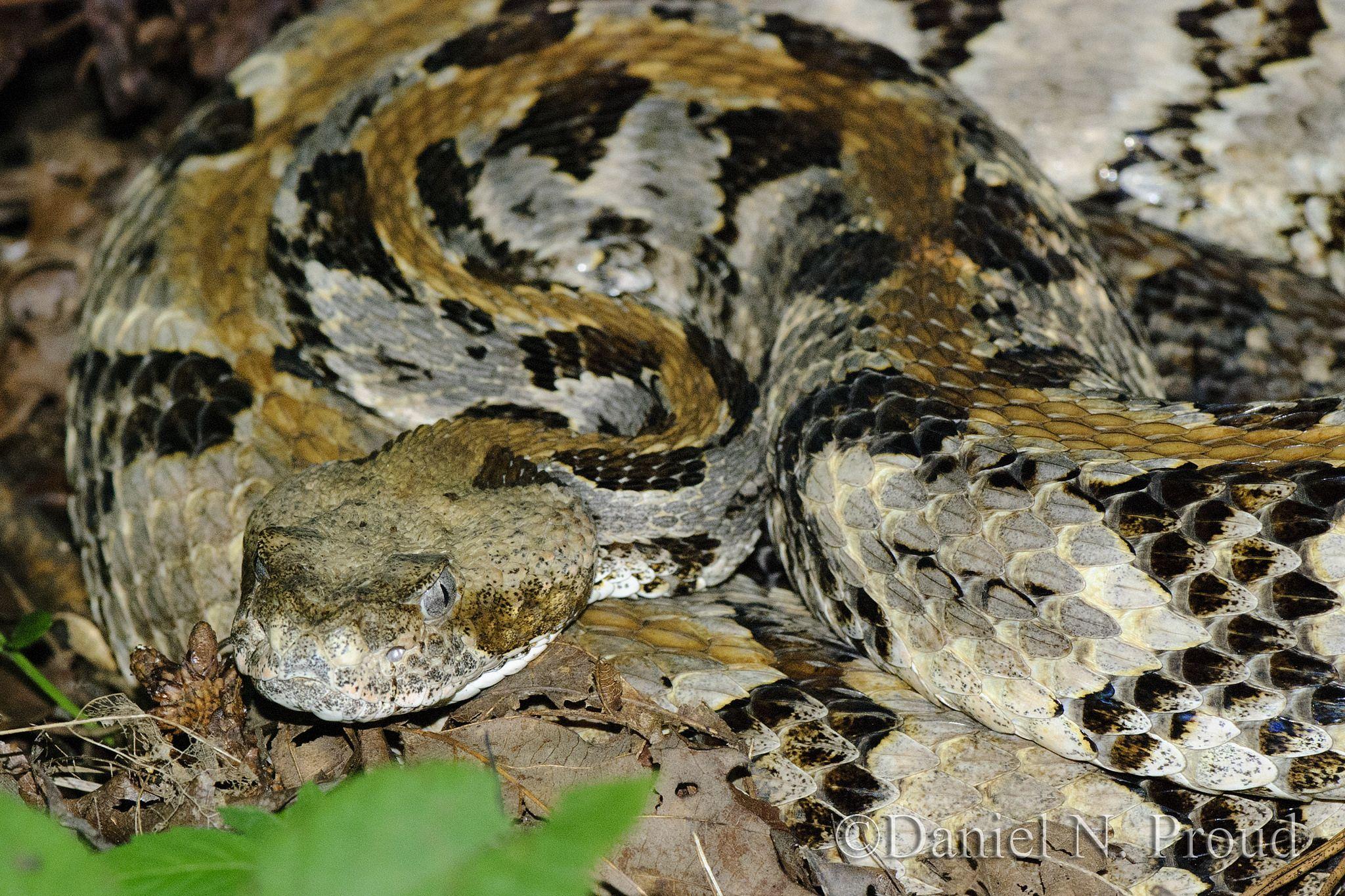 Timber_rattlesnake