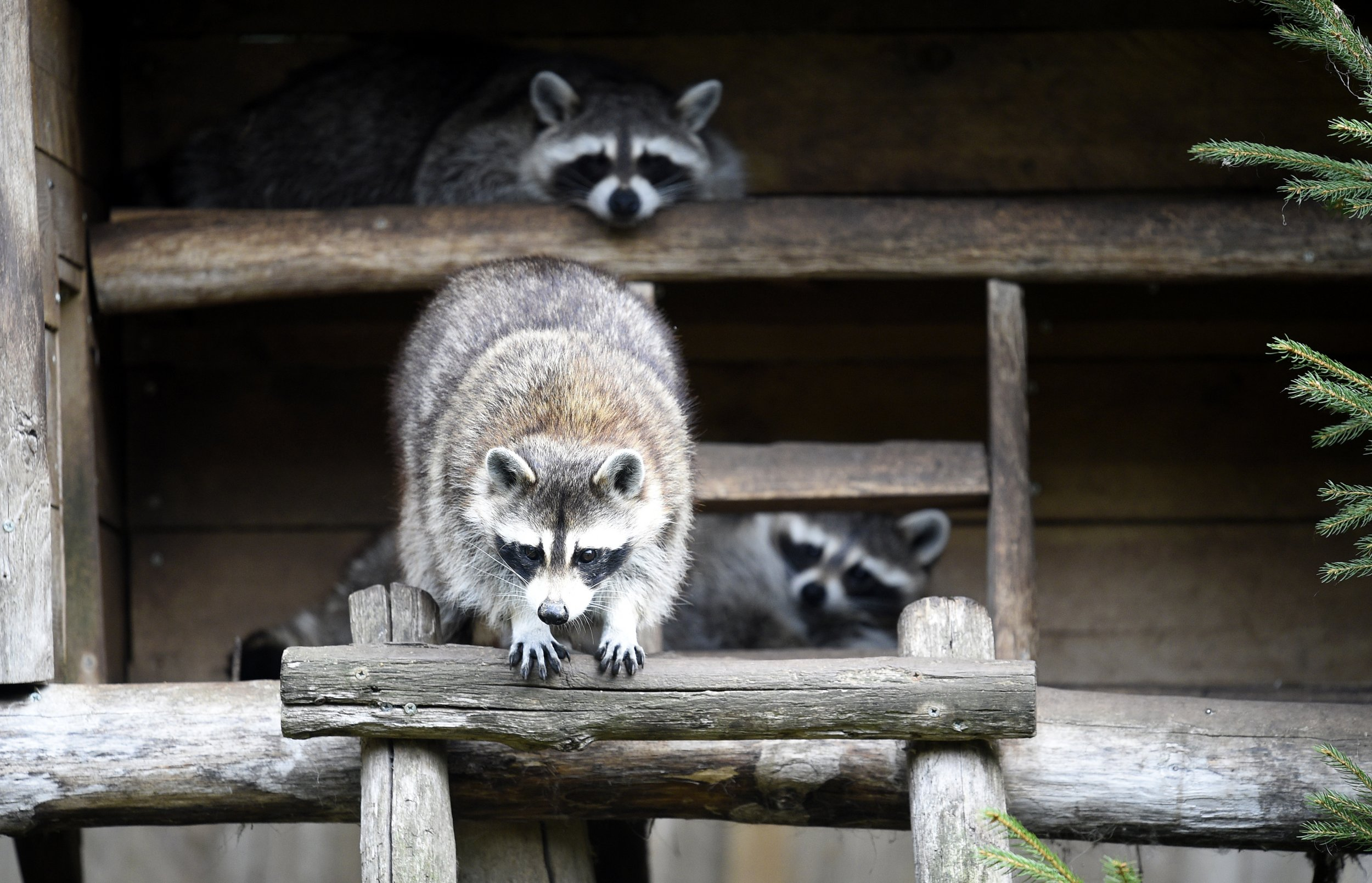 12_26_Raccoons