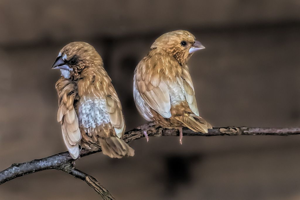 Bengalese_finches