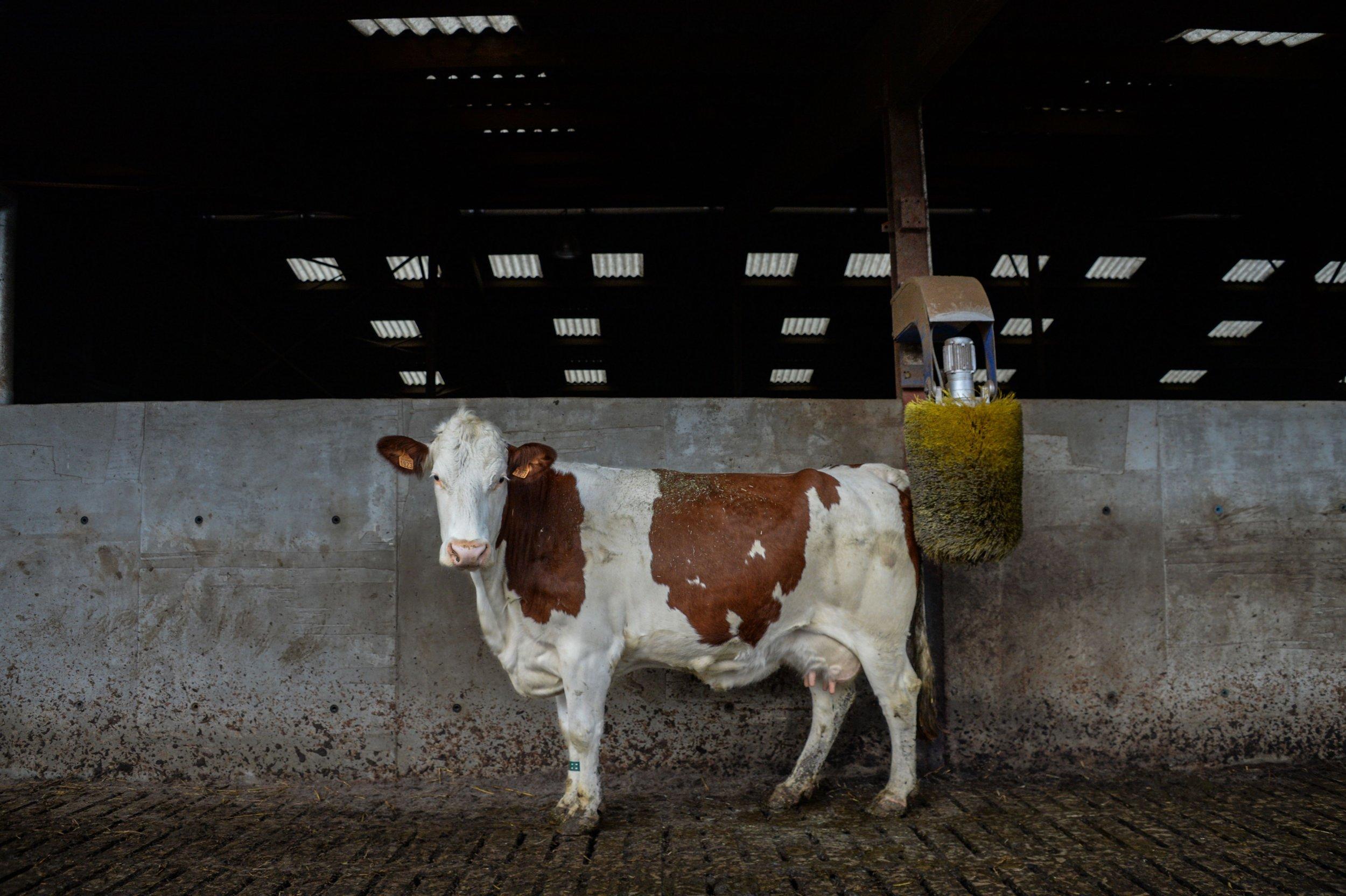 Cow calcium