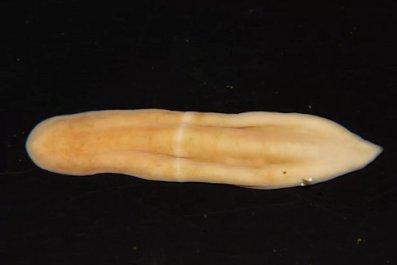 marineworm