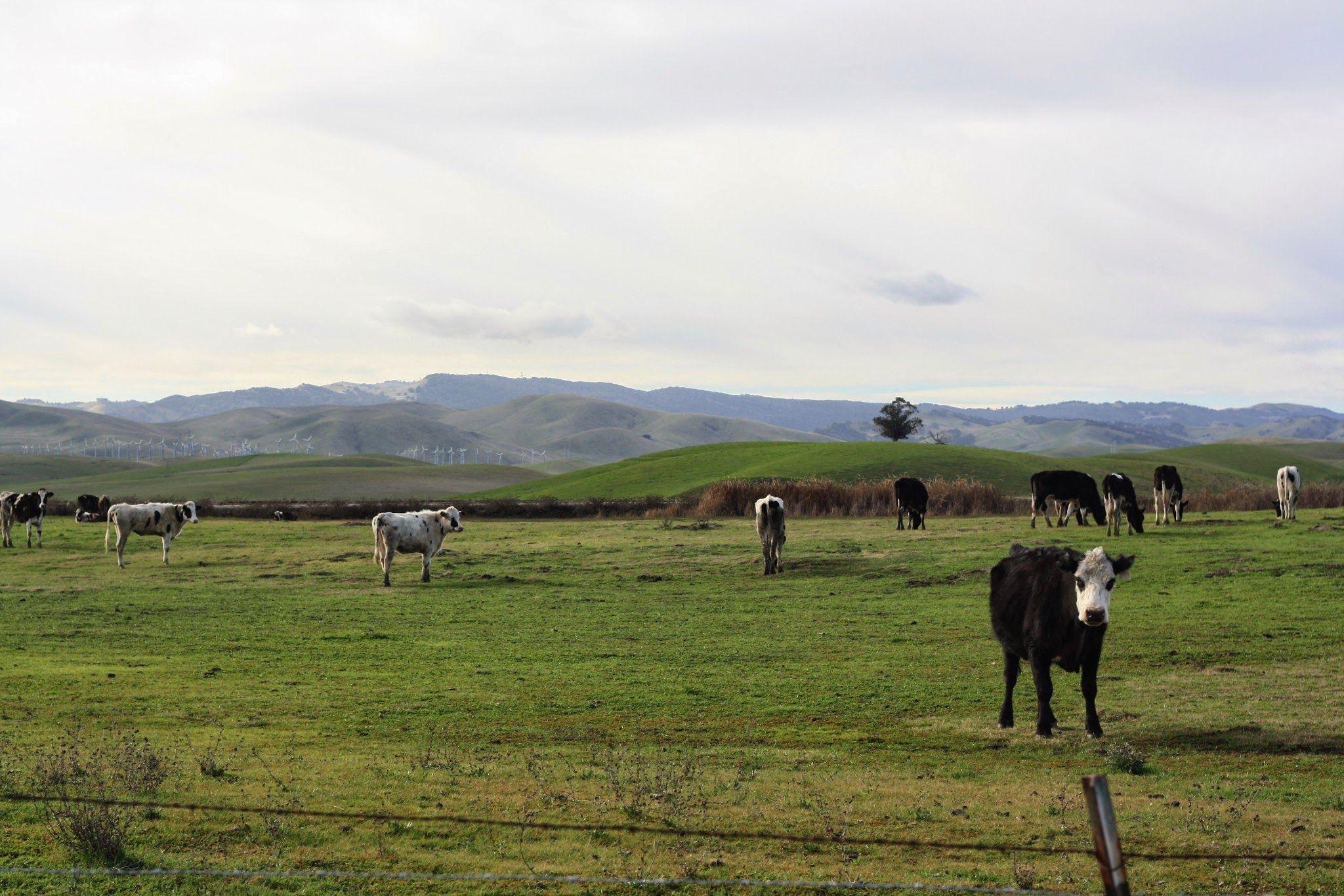 Cattle_Windmills_Byron
