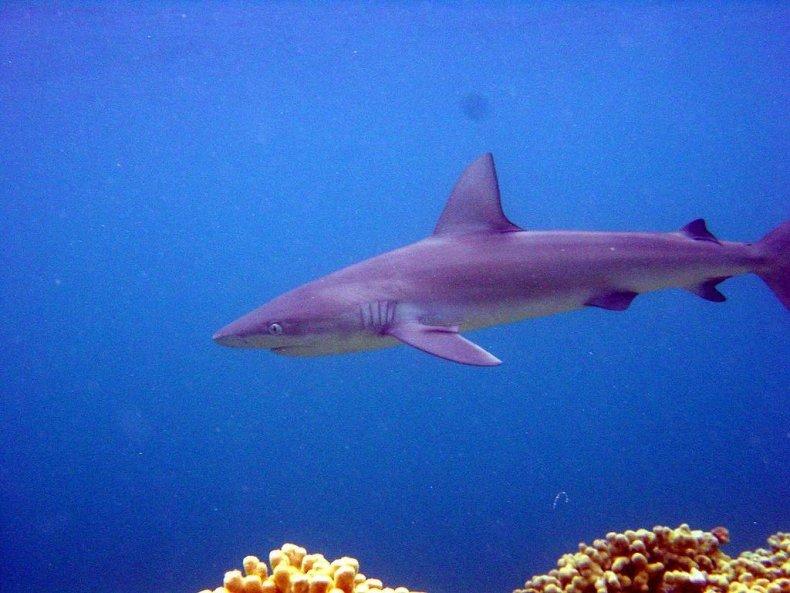 Galapagos_Shark