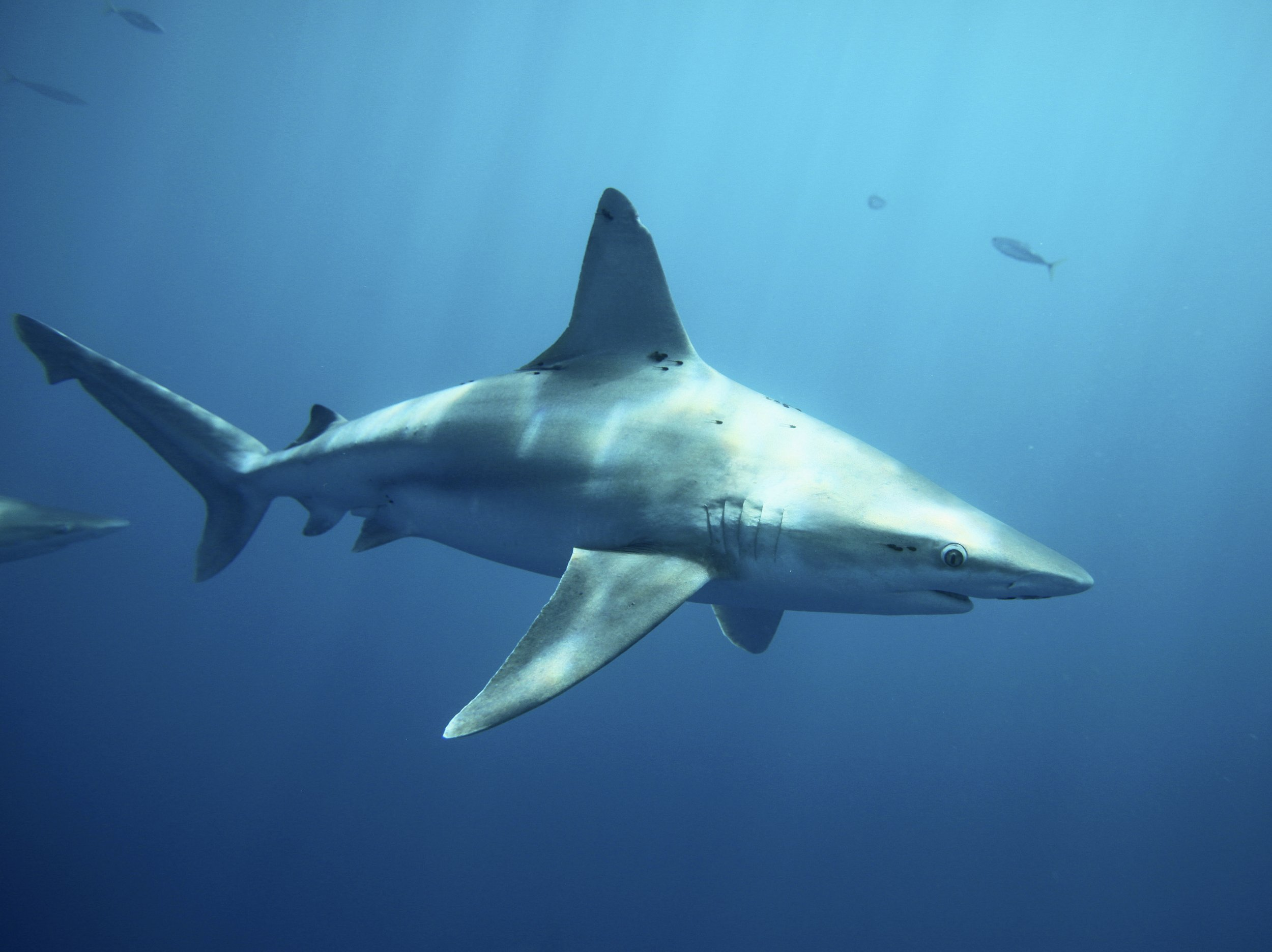 Intersex Shark Found In Taiwan Has Both Male And Female -6736