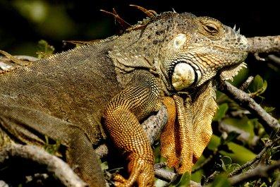 1_4_Iguana