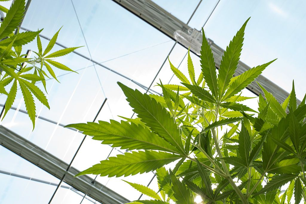 10518_Vermont_Marijuana