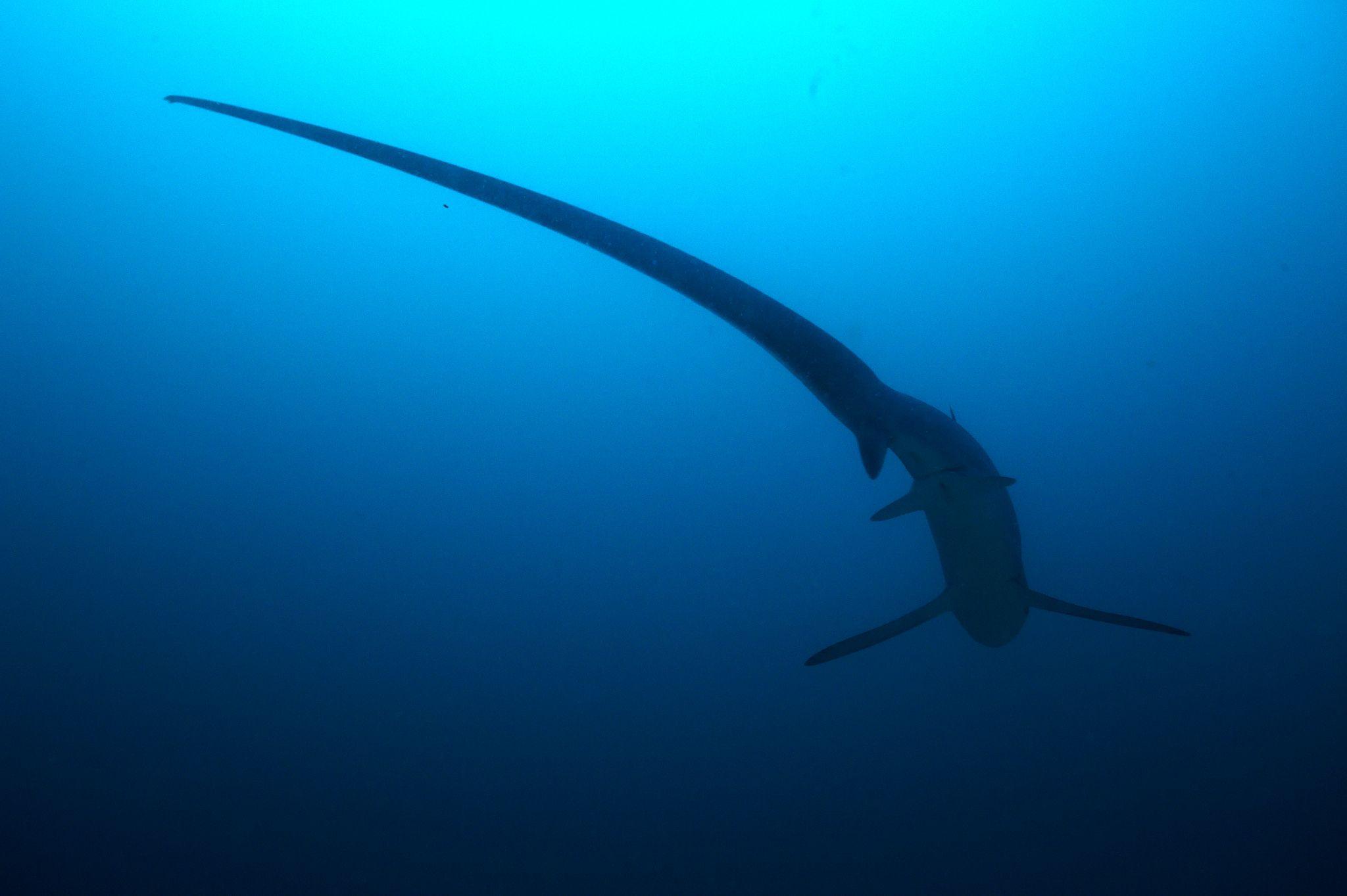 Thresher_shark
