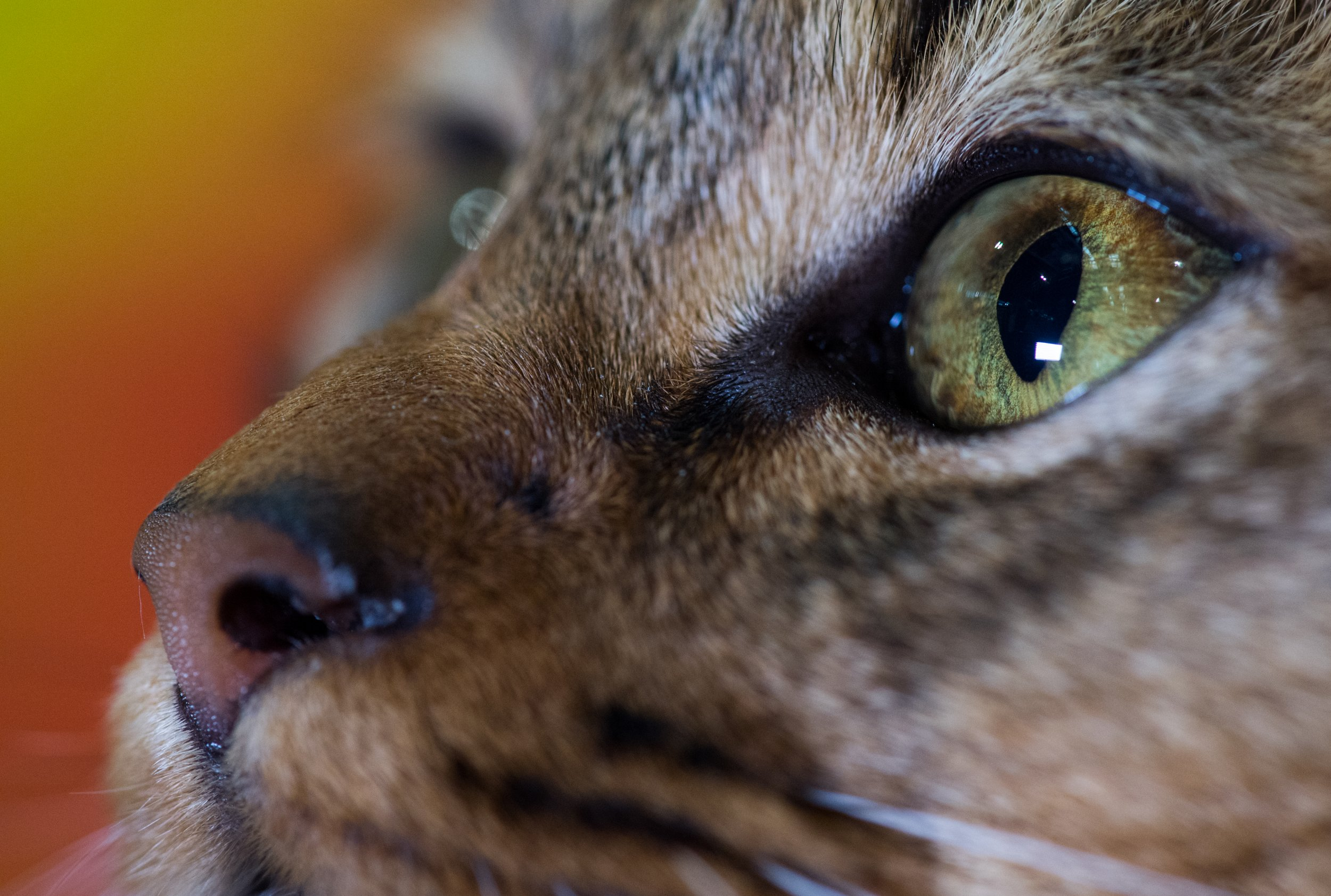 1_5_house cat