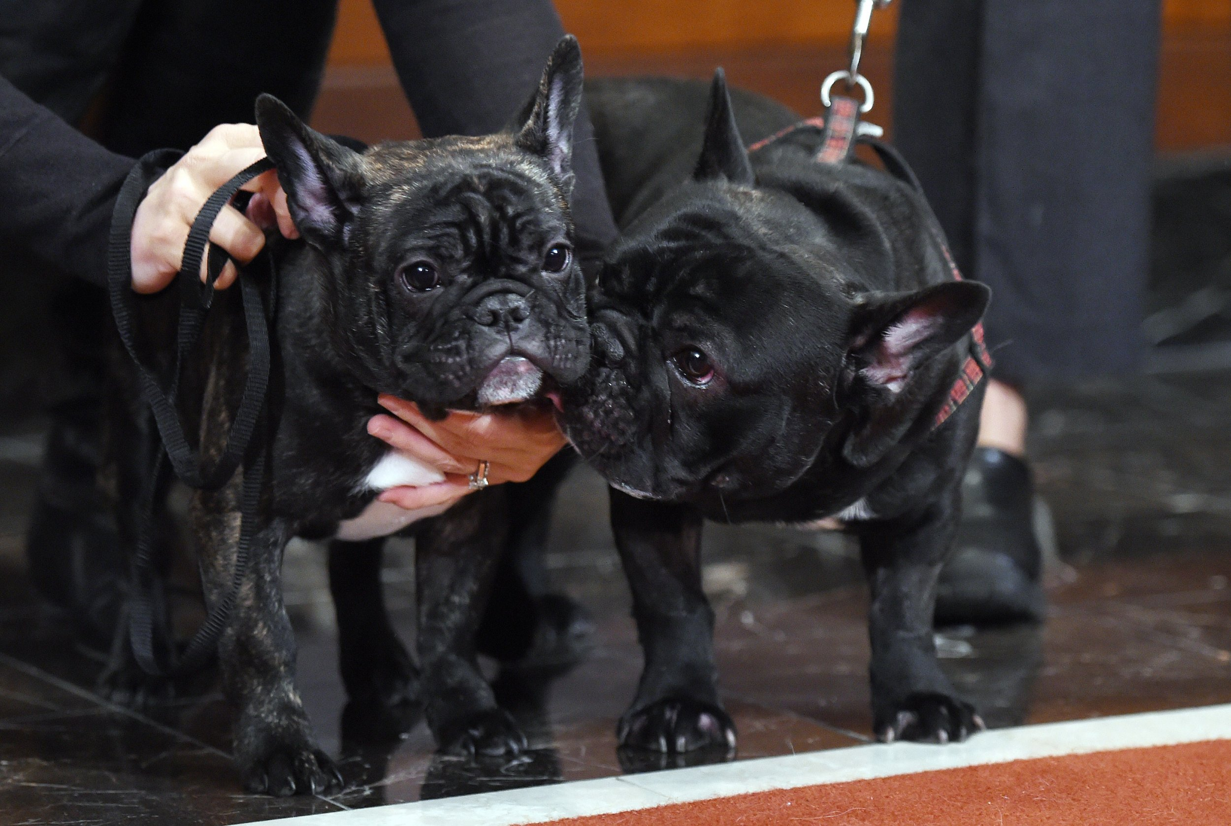 French_Bulldogs