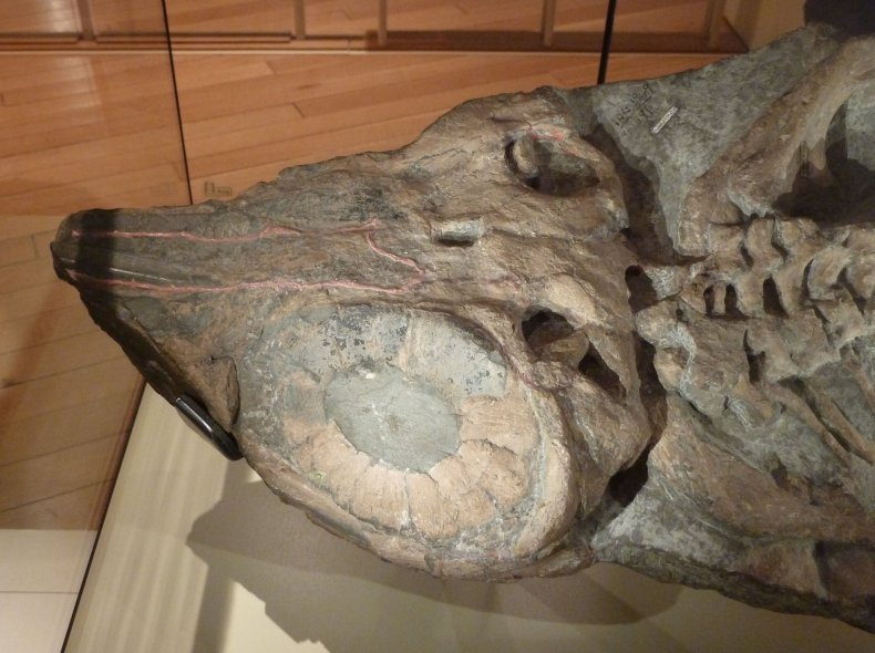 Ichthyosaur_skull_with_sclerotic_ring,_New_Walk_Museum