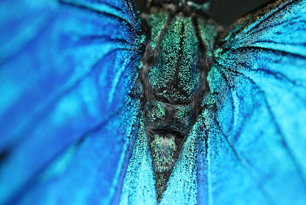 Papilio_Ulyses_Butterfly_Macro