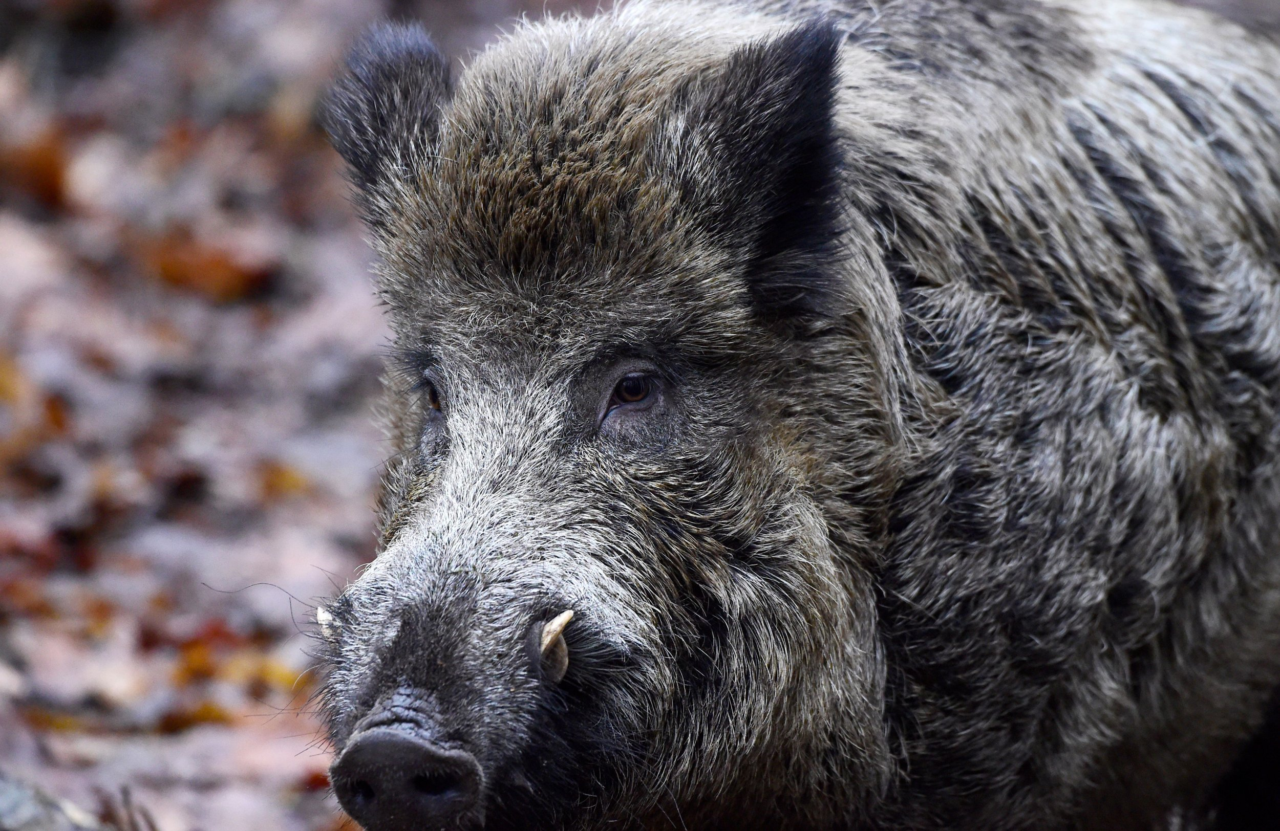 Man Loses Finger in Wild Boar Attack During His Morning Dog Walk