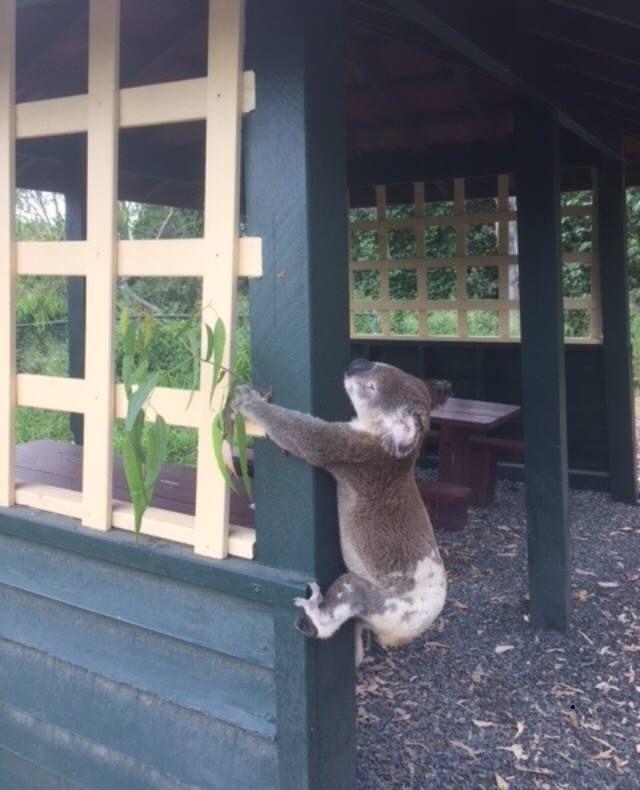 Dead_Koala