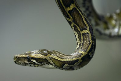 1_13_burmese python
