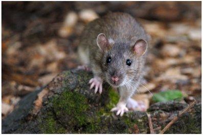 Brown_Rat