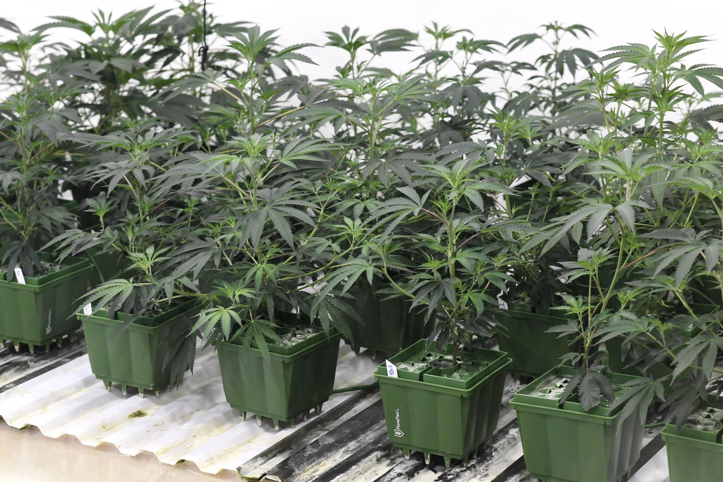 01_16_Marijuana_Plants