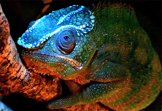 1_17_Glowing Chameleon