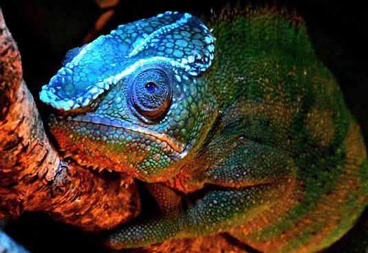 1_17_Glowing Chameleon
