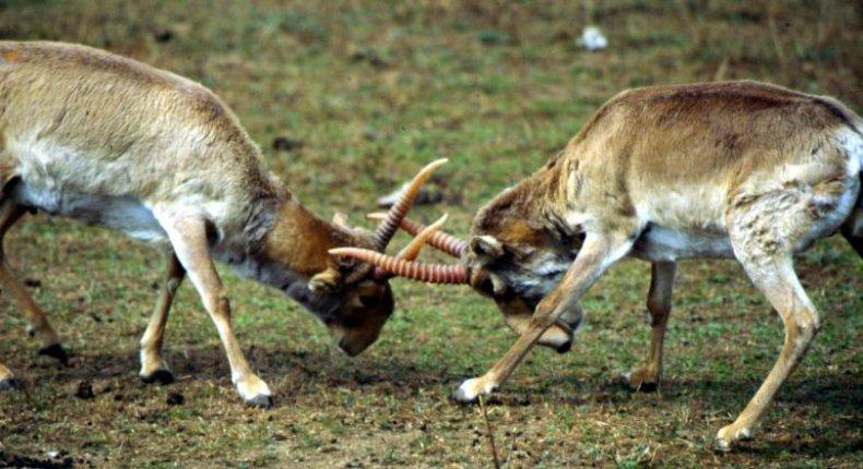 Saiga_Antelope_Fight