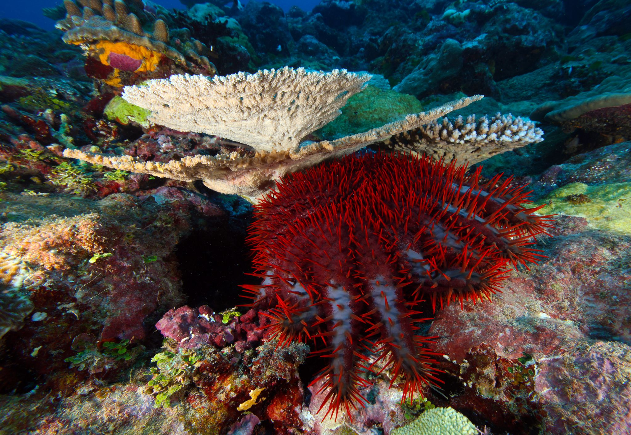 01_19_crown_of_thorns_starfish
