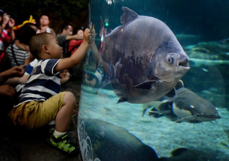 1_21_Pacu fish