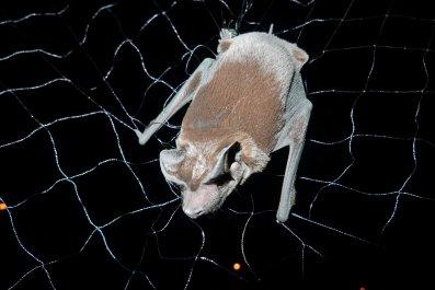 Freeman's_Dog-Nosed_Bat