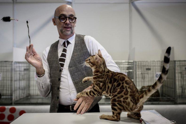 Bengal cat at Paris Animal Show 2