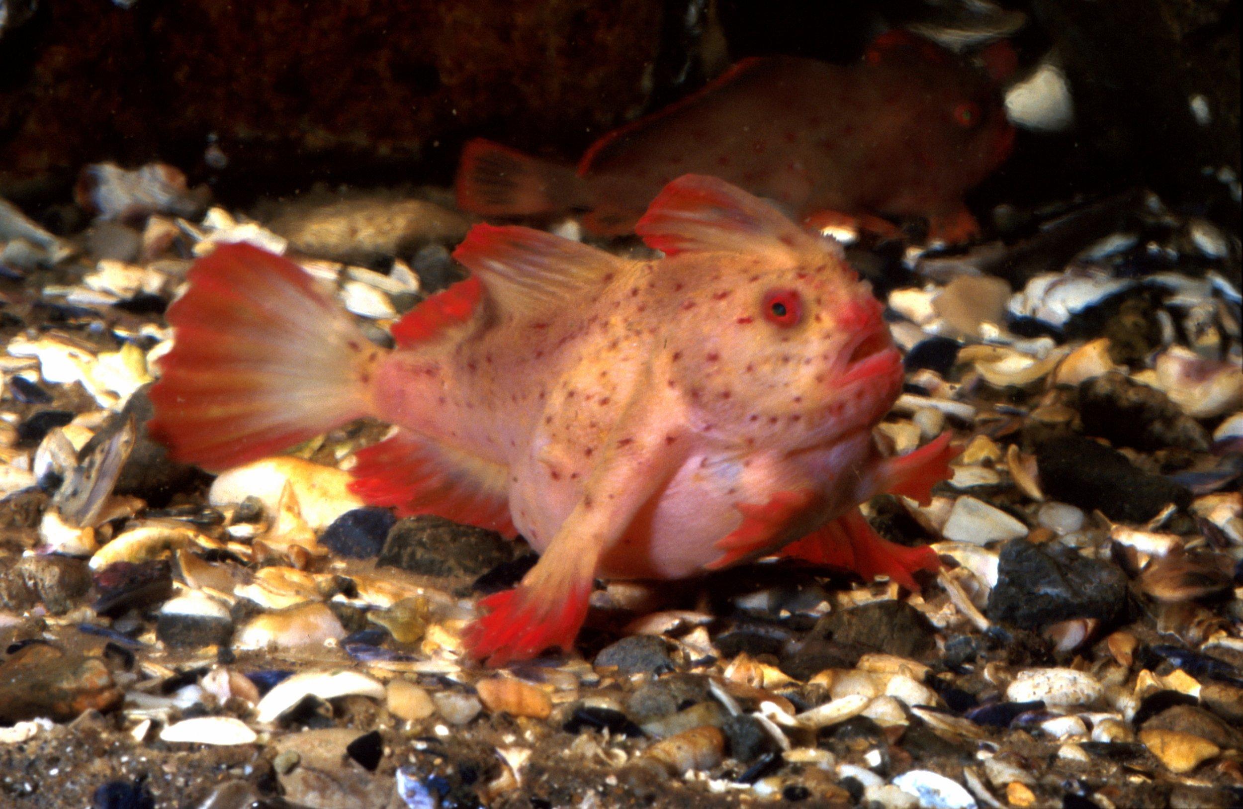 1_24_Red Handfish